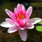 lotus-yoga